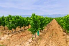Vineyard in the wine region Royalty Free Stock Photos