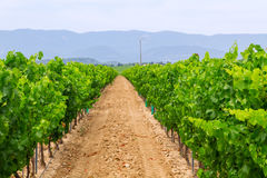 Vineyard in the wine region Stock Photo