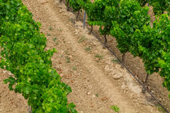 Vineyard in the wine region in Provence Royalty Free Stock Photo