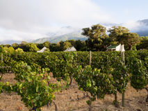 Vineyard in Winelands in Western Cape, South Africa Stock Image