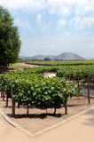The vineyard of the winery `Concho y Tora` Stock Photography