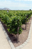 The vineyard of the winery `Concho y Tora` Royalty Free Stock Photo