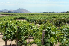The vineyard of the winery `Concho y Tora` Stock Photos