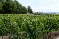 The vineyard of the winery `Concho y Tora` Royalty Free Stock Photography