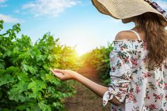 Vineyard winery tourist woman grape picking. Harvest farming to make white wine. Girl hand showing holding bunch of green grapes o Royalty Free Stock Photos