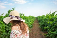 Vineyard winery tourist woman grape picking. Harvest farming to make white wine Stock Photography