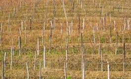 Vineyard in winter Stock Photography