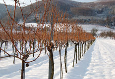 Vineyard in winter stock images