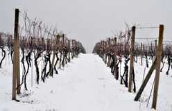 Vineyard in winter. View of the snow covered vineyard in winter Royalty Free Stock Image