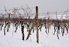 Vineyard in winter. View of the snowy vineyard Royalty Free Stock Images