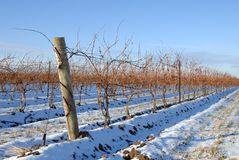 Vineyard in the Winter Royalty Free Stock Photography