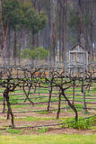 Vineyard in Winter. A vineyard in the Hunter Valley region of Australia in winter Royalty Free Stock Photography