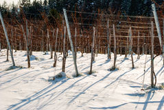 Vineyard in winter covered with snow Stock Photo