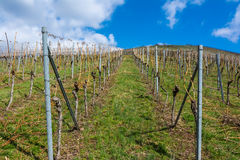 Vineyard Winter Landscape Empty Green Beautiful Blue Skies Warm Royalty Free Stock Photo