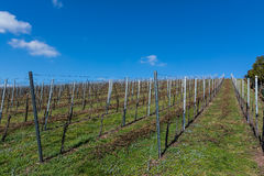 Vineyard Winter Landscape Empty Green Beautiful Blue Skies Warm Stock Image