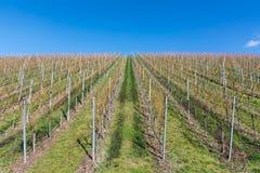 Vineyard Winter Landscape Empty Green Beautiful Blue Skies Warm Stock Photography