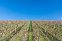 Vineyard Winter Landscape Empty Green Beautiful Blue Skies Warm Royalty Free Stock Photo