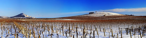Vineyard in winter Royalty Free Stock Photo