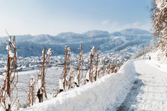 Vineyard in winter landscape Royalty Free Stock Image