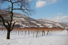 Vineyard in winter with mountains Stock Photography