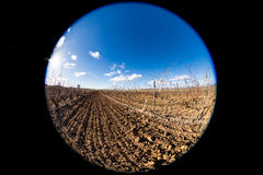 Vineyard. In winter, no grapes Stock Image