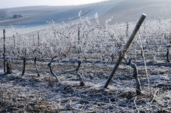 Vineyard in winter Royalty Free Stock Photography