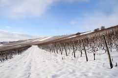 Vineyard in winter Royalty Free Stock Photos