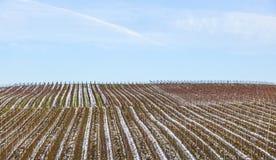 Vineyard in winter Royalty Free Stock Photos