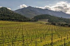 Vineyard in winter sun at Patrimonio in Corsica Royalty Free Stock Photo