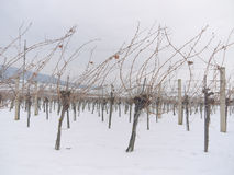 Vineyard in the winter time Royalty Free Stock Images