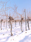 Vineyard in the winter time Stock Image