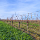 Vineyard in winter time  with blue sky Royalty Free Stock Photo