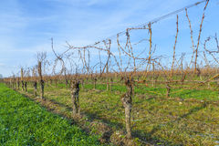 Vineyard in winter time with blue sky Stock Image