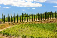 Free Vineyard With Row Of Cypress Trees In Val D`Orcia, Tuscany, Ital Royalty Free Stock Images - 101709259