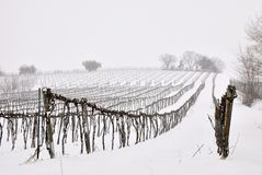 Vineyard With Snow Royalty Free Stock Photography