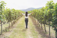 Vineyard worker checking wine grapes in vineyard. Vineyard woman worker checking wine grapes in the vineyard. Winery, winemaker concept Stock Image