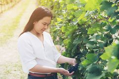 Vineyard worker checking wine grapes in vineyard. Vineyard woman worker checking wine grapes in the vineyard. Winery, winemaker concept Royalty Free Stock Photography