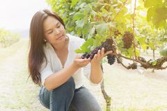 Vineyard worker checking wine grapes in vineyard. Vineyard woman worker checking wine grapes in the vineyard. Winery, winemaker concept Stock Images