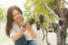 Vineyard worker checking wine grapes in vineyard. Vineyard woman worker checking wine grapes in the vineyard. Winery, winemaker concept Royalty Free Stock Images