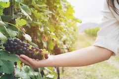 Vineyard worker checking wine grapes in vineyard. Vineyard woman worker checking wine grapes in vineyard. Winery, winemaker and worker concept. Sunny day in Stock Image