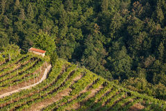 Vineyard in a wooded valley Stock Images