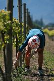 Vineyard Worker Bud Rubbing Royalty Free Stock Photo