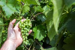 Vineyard worker checking grapes quality in vineyard. Winemaker checks the harvest of grapes Royalty Free Stock Photography