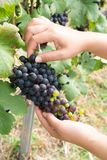 Vineyard worker checking wine grapes in vineyard. Vineyard woman worker checking wine grapes in the vineyard. Winery, winemaker concept Stock Photo
