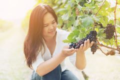 Vineyard worker checking wine grapes in vineyard. Vineyard woman worker checking wine grapes in vineyard. Winery, winemaker and worker concept. Sunny day in Stock Images