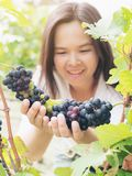 Vineyard worker checking wine grapes in vineyard. Vineyard woman worker checking wine grapes in vineyard. Winery, winemaker and worker concept. Sunny day in Royalty Free Stock Photos