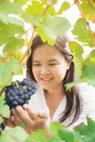 Vineyard worker checking wine grapes in vineyard. Vineyard woman worker checking wine grapes in vineyard. Winery, winemaker and worker concept. Sunny day in Royalty Free Stock Image