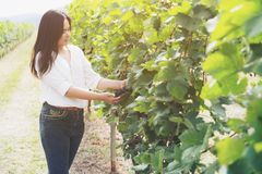 Vineyard worker checking wine grapes in vineyard. Vineyard woman worker checking wine grapes in vineyard. Winery, winemaker and worker concept. Sunny day in Royalty Free Stock Photo