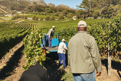 Vineyard workers transporting grapes to winery Stock Photography
