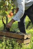 Vineyard working. Man harvestin grapes in a vineyard Royalty Free Stock Photo